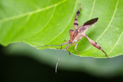 Image of a Leaf-footed bugs on green leaves. Insect Royalty Free Stock Image
