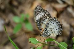 Image of Leopard lacewing Butterfly on green leaves. Insect. Image of Leopard lacewing Butterfly on green leaves. Insect Animal stock photography