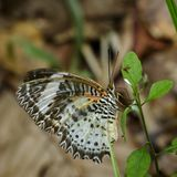 Image of Leopard lacewing Butterfly on green leaves. Insect Animal. royalty free stock photography