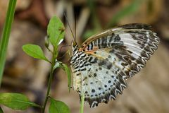 Image of Leopard lacewing Butterfly on green leaves. Insect. Image of Leopard lacewing Butterfly on green leaves. Insect Animal stock photos