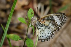 Image of Leopard lacewing Butterfly on green leaves. Insect. Image of Leopard lacewing Butterfly on green leaves. Insect Animal royalty free stock photos