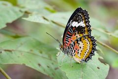 Image of Leopard lacewing Butterfly on green leaves. Insect. Image of Leopard lacewing Butterfly on green leaves. Insect Animal royalty free stock image