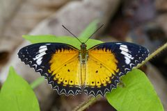 Image of Leopard lacewing Butterfly on green leaves. Insect. Image of Leopard lacewing Butterfly on green leaves. Insect Animal stock images