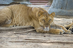 Image of a liger on nature background. Wild Animals Royalty Free Stock Images