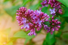 An image of a lilac. Purple spring purple flowers, abstract soft floral background. Spring lilac violet flowers Stock Photography