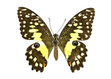 Image of Lime Butterfly Papilio demoleus. Stock Photos
