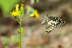 Image of lime butterflyPapilio demoleus is sucking nectar from flowers on a natural background. Insects. Animals.  stock image