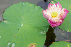 Image of a lotus flower on the water.  Stock Images