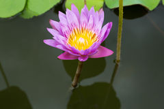 Image of a lotus flower on the water Royalty Free Stock Images
