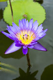 Image of a lotus flower on the water Stock Photos