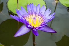Image of a lotus flower on the water Royalty Free Stock Photography