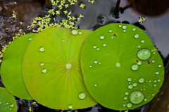 Image of Lotus Leaf Stock Photography