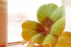 Image of lucky clover in a flowerpot with sunbeams. Image of lucky clover in a flowerpot on a window with sunbeams royalty free stock images