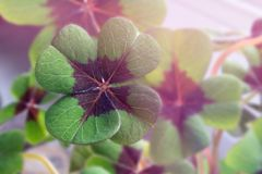 Image of lucky clover in a flowerpot. On a window royalty free stock photo