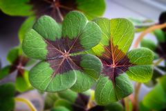 Image of lucky clover in a flowerpot stock photo