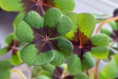 Image of lucky clover in a flowerpot. On a window stock images