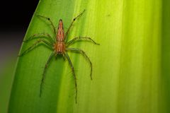 Image of a Lynx spider oxyopidae on green leaves. Insect. Animal Stock Image