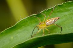 Image of a Lynx spider oxyopidae on green leaves. Insect. Animal Royalty Free Stock Photos