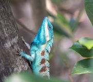 Image of macro blue chameleon on the tree , Natural color change Royalty Free Stock Image
