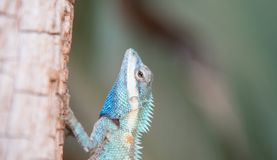Image of macro blue chameleon on the tree , Natural color change Stock Photos