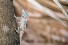 Image of macro blue chameleon on the tree , Natural color change Stock Photo