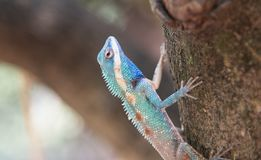 Image of macro blue chameleon on the tree , Natural color change Royalty Free Stock Photography
