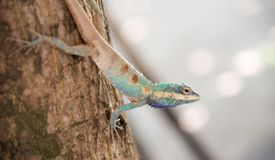 Image of macro blue chameleon on the tree , Natural color change Stock Images