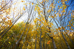 Trees during autumn Royalty Free Stock Images