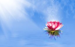 magic lotus flower on the water stock photos