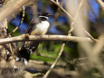 Image of magpie perched on tree branch. Royalty Free Stock Photo
