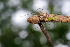 Image of Malagasy green lynx spider. Image of Malagasy green lynx spider Peucetia madagascariensis on dry branches. Insect, Animal Stock Photo