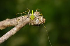 Image of Malagasy green lynx spider Peucetia madagascariensis. On dry branches. Insect, Animal Royalty Free Stock Photography