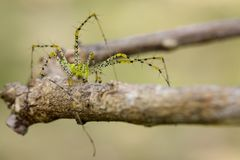 Image of Malagasy green lynx spider Peucetia madagascariensis. On dry branches. Insect, Animal Royalty Free Stock Photo
