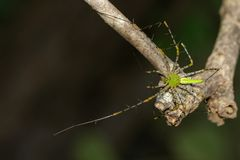 Image of Malagasy green lynx spider Peucetia madagascariensis. On dry branches. Insect, Animal Royalty Free Stock Images