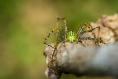Image of Malagasy green lynx spider Peucetia madagascariensis. On dry branches. Insect, Animal Royalty Free Stock Image