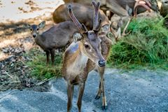 Eld`s deer. Image of male eld`s deers in the zoo Royalty Free Stock Photo