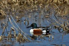 Male Mallard Duck. An image of a male mallard duck swimming in a marshy pond Stock Image