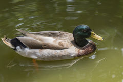 Image of male mallard ducks. Image of male mallard ducks floating on the water Stock Image