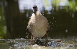 Image of male mallard ducks. Image of male mallard ducks standing on the water Stock Photo