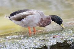 Image of male mallard ducks. Standing on the water Royalty Free Stock Image