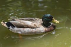 Image of male mallard ducks. Stock Image