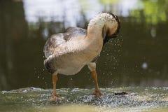 Image of male mallard ducks. Stock Photos