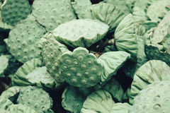 Image many fresh lotus seed in pods. Royalty Free Stock Photo