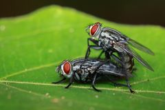 Image of mating flies on green leaves. Insect. Animal.  Stock Photos