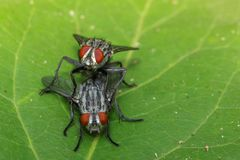 Image of mating flies on green leaves. Insect. Animal.  Stock Images