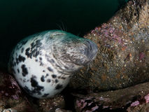 Grey seals in the Farne Islands. Image of a mature grey seal bull, Halichoerus grypus, photographed as it was sleeping on the bottom of the main gully at The Stock Photo