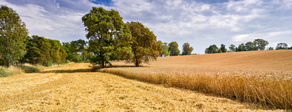 Panorama with field of ripening wheat. Image may be useful  for ideas and concepts of interactions between natural and industrial landscapes  or damaging human Royalty Free Stock Photos