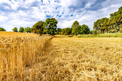 Field of ripening wheat. Image may be useful  for ideas and concepts of interactions between natural and industrial landscapes Royalty Free Stock Images