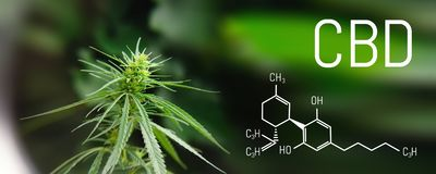 Image medicinal cannabis with extract oil of the formula CBD cannabinol, cannabidiol. Growing marijuana, hemp antioxidant products.  stock images