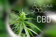 Image medicinal cannabis with extract oil of the formula CBD cannabinol, cannabidiol. Growing marijuana, hemp antioxidant products.  stock image